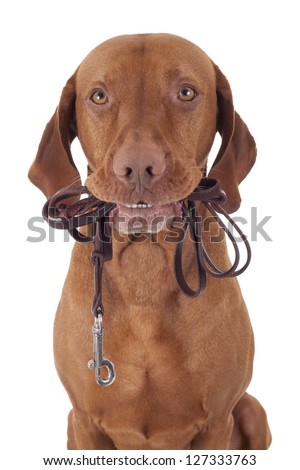 dog holding leash in mouth on white background - stock photo
