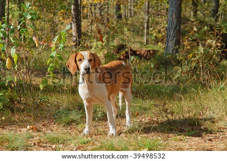 Dog hound resting on fallen leaves in the autumn forest - stock photo