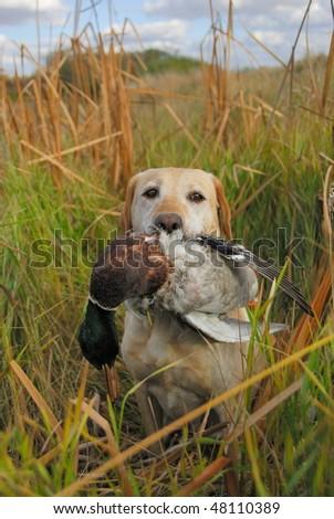 Dog Hunting Birds - stock photo