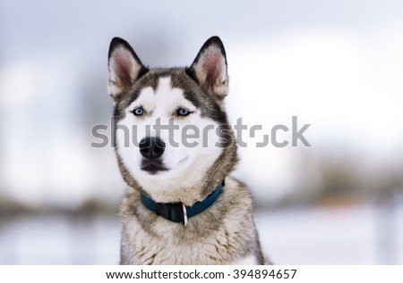Dog in a collar. Breed of a dog - Siberian huskies. Howl - stock photo