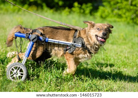 Dog in a wheelchair  - stock photo