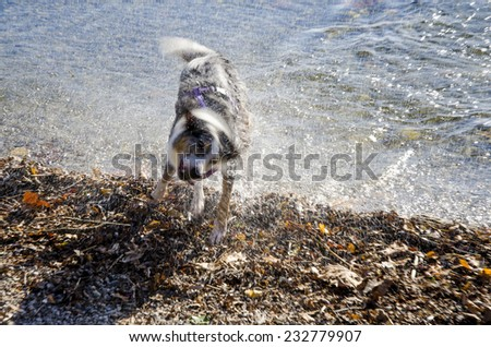dog in action to shake the water off after a bath-play in the lake - stock photo