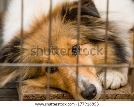 dog in cage series--Shetland sheepdog, her name is Sissi. - stock photo