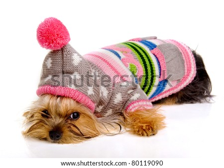 dog in fashionable clothes on a white background.Yorkshire Terrier. - stock photo
