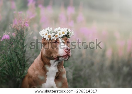 Dog in flowers on the field with daisies - stock photo