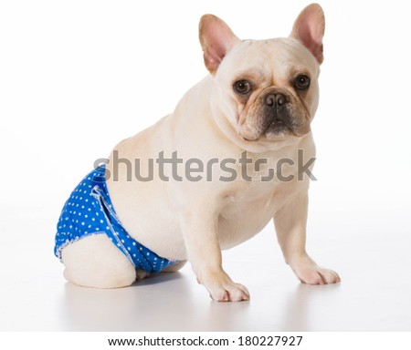 dog in heat or season wearing protective pants - french bulldog - stock photo
