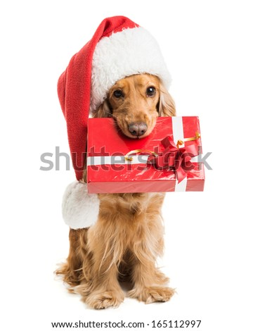dog in santa hat with a gift mouth isolated - stock photo