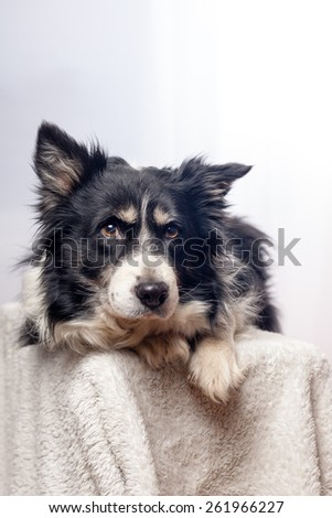 dog in studio with white background laying on a white blanket - stock photo