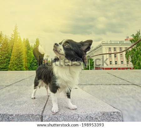 dog in the city background, walking with chihuahua puppy - stock photo