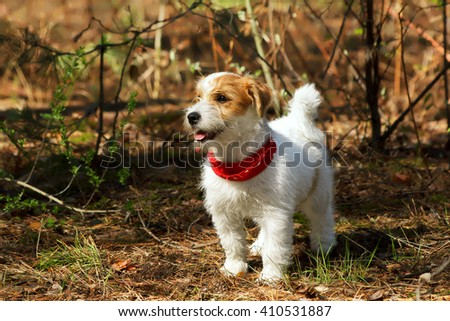 Dog in the forest. Cute pet outdoors. Young Jack Russell Terrier puppy in the park. - stock photo