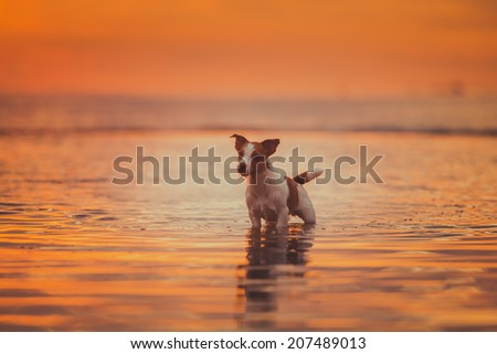 Dog in the water at sunset. Jack rasel terrier breed.  Spray, sunny, jumping dog - stock photo