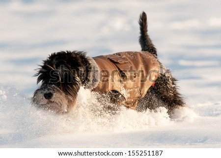 dog in winter jacket runs on snow - stock photo