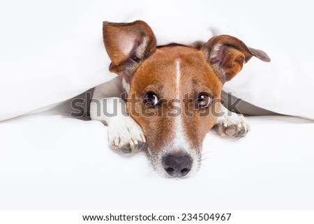 dog inside bed looking to the side ,relaxed , warm and cozy - stock photo