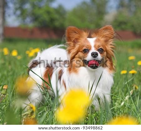 Dog is standing among the yellow flowers - stock photo