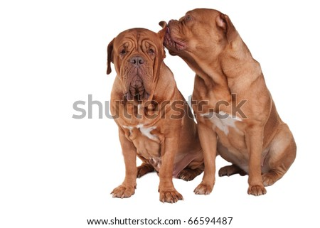 Dog is wispering a secret in its friend's ear - stock photo
