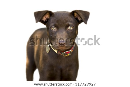 Dog isolated on white is a cute brown dog with green eyes looking slightly serious while standing isolated against a white background. - stock photo