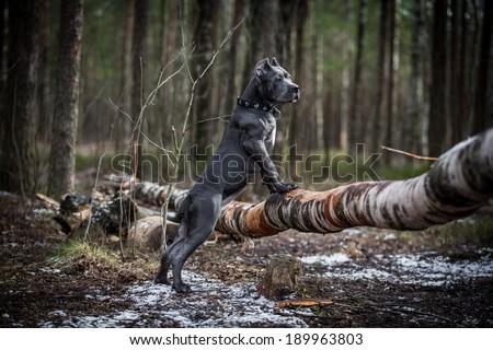 dog. Italian Cane Corso. forest - stock photo