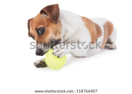 Dog Jack Russel terrier playing with a toy. Dog is gnawing yellow tennis ball. Isolated on white. Studio shot. - stock photo