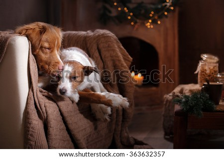 Dog Jack Russell Terrier and Dog Nova Scotia Duck Tolling Retriever holiday, portrait dog on a studio color background - stock photo