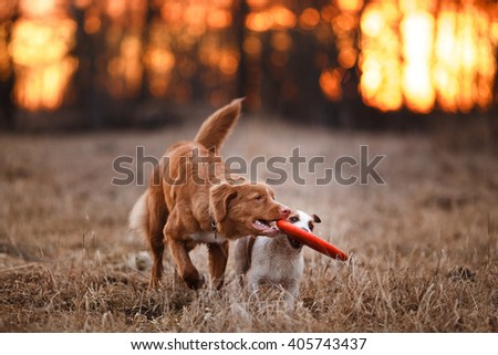 Dog Jack Russell Terrier and Dog Nova Scotia Duck Tolling Retriever walking in the park, spring - stock photo