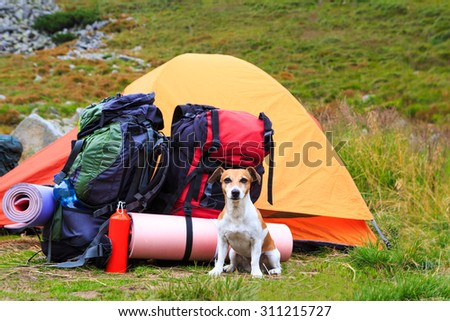Dog Jack Russell terrier guarding tent and gear for a hike. Series of photos - stock photo
