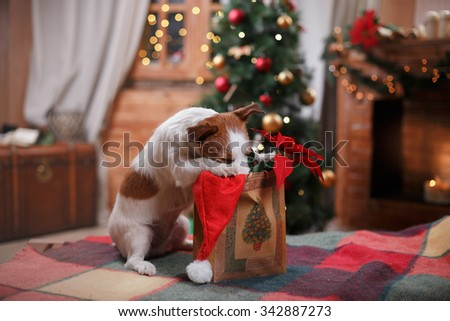 Dog Jack Russell Terrier holiday, Christmas and New Year - stock photo