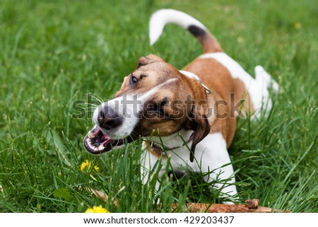dog Jack Russell Terrier playing in the Park in the grass eating grass - stock photo