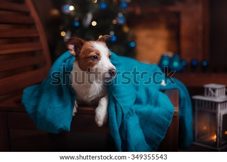 Dog Jack Russell Terrier portrait on a studio background, Christmas and New Year - stock photo