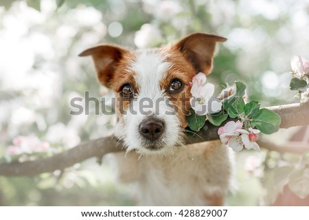 Dog Jack Russell Terrier sitting on a tree on the background of white flowers in the orchard. - stock photo