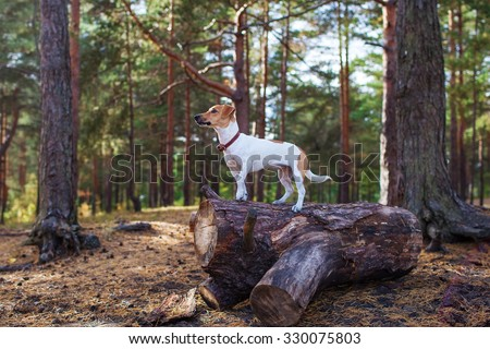 Dog jack russell terrier standing on a stump in the forest - stock photo