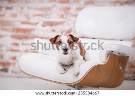 Dog Jack Russell Terrier, Studio, interior - stock photo