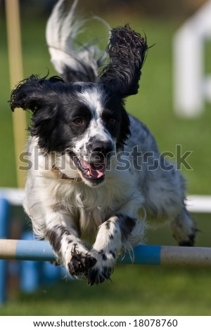 Dog jumping a fence in an agility competition - stock photo