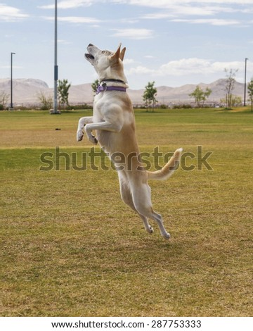 Dog jumping at the park caught in mid air going up - stock photo