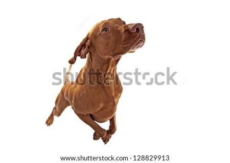 dog jumping isolated on white - stock photo