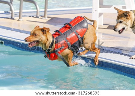 Dog jumping off the side of the pool in a vest while another dog watches - stock photo