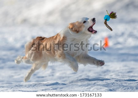 Dog jumping to catch apport - stock photo