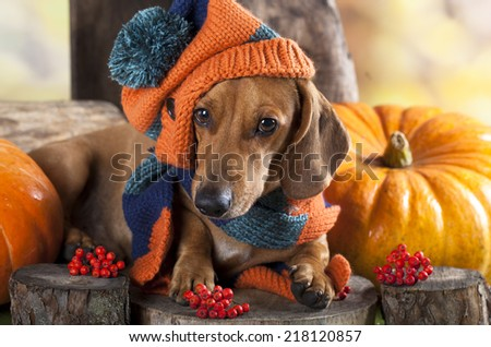 dog knitted hat and scarf, dachshund - stock photo
