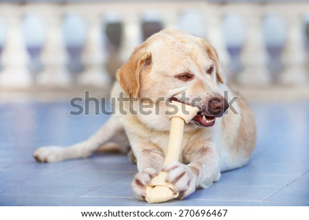 Dog Labrador retriever chew rawhide bone - stock photo