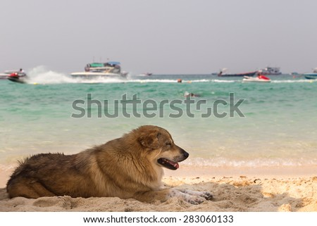 Dog Lies on Beach Sand and Looking out to Sea  - stock photo