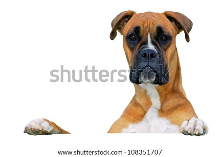 dog looking at you over white banner - stock photo