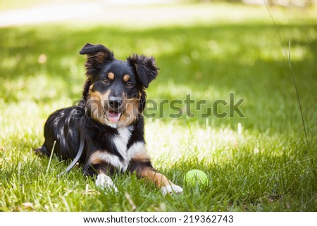 Dog looking camera / Border collie - stock photo