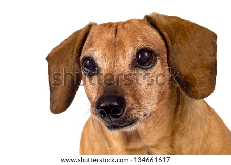 Dog Looking Forward/ Close Up/ Isolated On White - stock photo