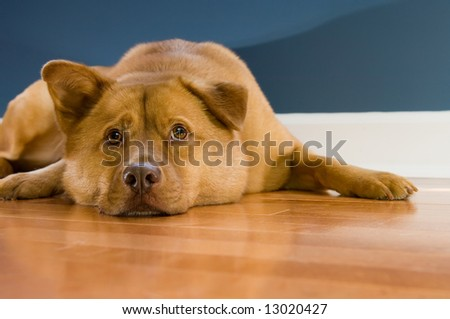 Dog looking up while resting on hardwood floor - stock photo