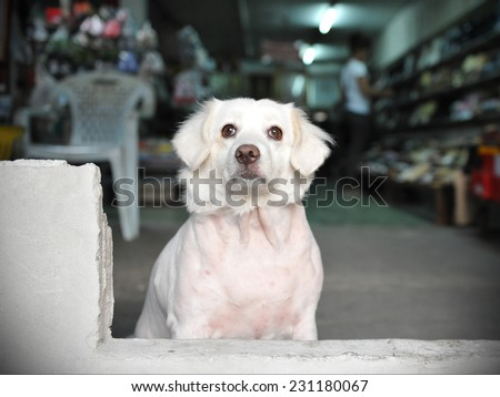 Dog Looks out from a Shop on a Bangkok Street - stock photo