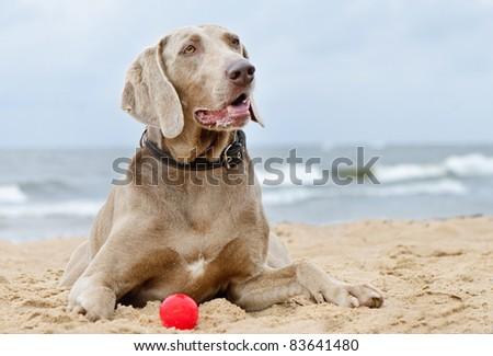 Dog lying on seacoast - stock photo