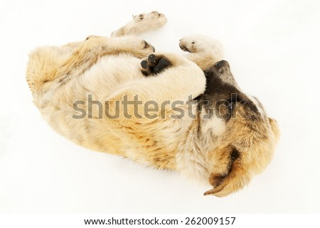 dog mastiff puppy sheepdog in the snow of Leon, Spain - stock photo