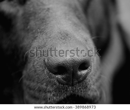 Dog nose (in black and white, selective focus on the nose) - stock photo