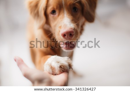 Dog Nova Scotia Duck Tolling Retriever on a studio background - stock photo
