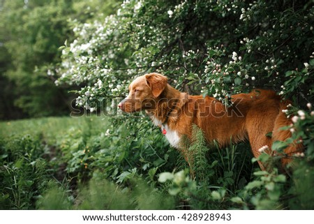 Dog Nova Scotia Duck Tolling Retriever walking in summer park, sitting on a tree on the background of white flowers in the orchard. - stock photo