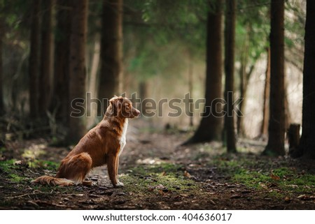 Dog Nova Scotia Duck Tolling Retriever walking, playing, running, jumping in the forest spring - stock photo